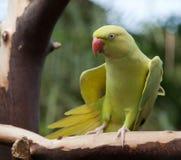 Parakeet di Ringnecked Fotografia Stock