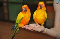 Parakeet di Sun Immagine Stock
