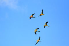 Parakeet di Sun Fotografia Stock Libera da Diritti