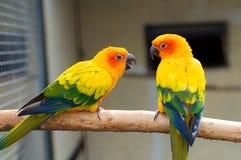 Parakeet di Sun. Solstitialis di Aratinga fotografie stock