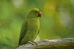 Parakeet do Alexandrine Imagem de Stock Royalty Free
