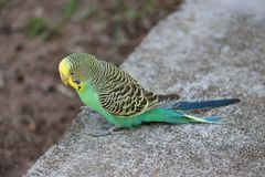 Parakeet. A parakeet in the driveway Stock Images