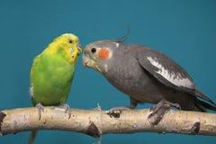 Parakeet e Cockatiel fotografia stock