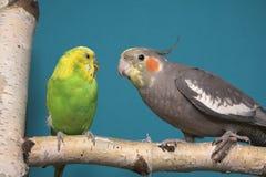 Parakeet e Cockatiel fotografie stock