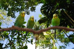 Parakeet green and yellow birds under canopy of tree branches
