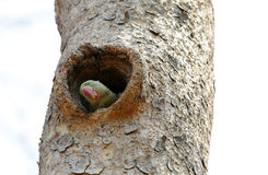 Parakeet in its nest. A parakeet is small to medium sized species of parrot Stock Photography
