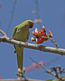 Parakeet Long-tailed Royalty Free Stock Images