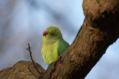 Parakeet looks quizzical Royalty Free Stock Image