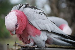 Parakeet Royalty Free Stock Images