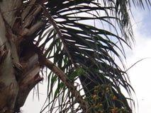 Parakeet na roślinie Syagrus romanzoffiana fotografia stock