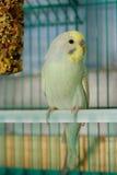 Parakeet opaline diluído Foto de Stock Royalty Free