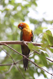 Parakeet or parrot is sleeping on tree branch. Stock Photo