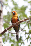 Parakeet or parrot is sleeping on tree branch. Royalty Free Stock Photography