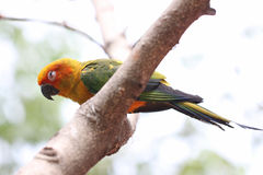 Parakeet or parrot is sleeping on tree branch. Stock Images