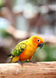Parakeet or parrot on tree branch. Royalty Free Stock Image