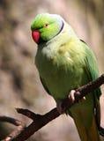 Parakeet Stock Photography
