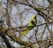 Parakeet rodeado da rosa selvagem Imagens de Stock