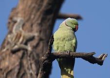Parakeet rodeado de Rosa Foto de Stock Royalty Free