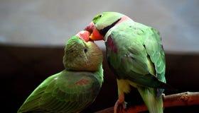 Parakeet rodeado de Rosa Foto de Stock