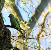 Parakeet rodeado de Rosa Imagens de Stock Royalty Free