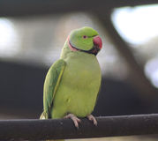 Parakeet rodeado de Rosa Imagem de Stock Royalty Free