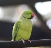 Parakeet rodeado de Rosa Fotos de Stock Royalty Free