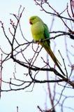 Parakeet Rosa-anellato selvaggio a Londra ad ovest fotografia stock libera da diritti
