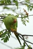 parakeet Rosa-rodeado imagem de stock royalty free