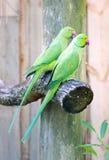 parakeet Rose-anillado Imagen de archivo libre de regalías
