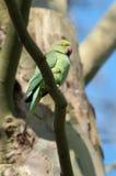 parakeet Rose-bagué Images libres de droits