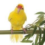 parakeet Rosso-fronteggiato di Kakariki Immagini Stock Libere da Diritti