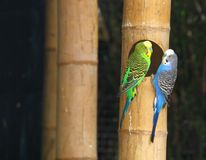 Parakeet (s) Royalty Free Stock Photo