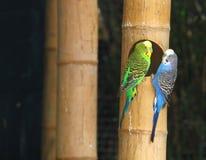 Parakeet (S) Lizenzfreies Stockfoto