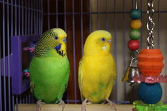 Parakeet's at Rest. Two Parakeet's shot closeup that's bright and colorful sitting on there perch that's sitting pretty. Shot in Kansas Royalty Free Stock Images