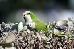 Parakeet sauvage de moine Images libres de droits