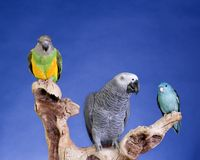 Parakeet and Senegal Parrot Royalty Free Stock Image