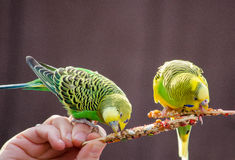 Parakeet on a stick Royalty Free Stock Image