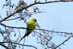Parakeet Royalty Free Stock Photography