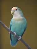 Parakeet on a twig. A blueish-white parakeet sits on the tree and watches its surroundings Royalty Free Stock Photos