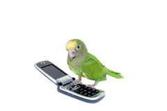 Parakeet verde Fotos de Stock Royalty Free