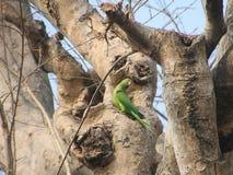 Parakeet w drzewie obrazy royalty free