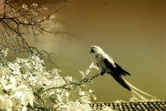 Parakeet w drzewie, infrared Zdjęcie Royalty Free