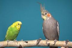 Parakeet y Cockatiel Fotografía de archivo