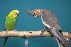 Parakeet y Cockatiel Fotografía de archivo libre de regalías