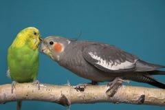 Parakeet y Cockatiel Fotos de archivo