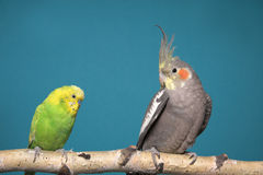 Parakeet y Cockatiel Foto de archivo libre de regalías