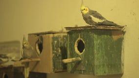 Parakeets και ξύλινα κλουβιά απόθεμα βίντεο