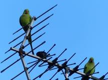 Parakeets σε ένα προάστιο του Λονδίνου Στοκ φωτογραφία με δικαίωμα ελεύθερης χρήσης