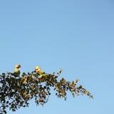 parakeets 2 Стоковая Фотография RF