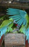 Parakeets Photo libre de droits